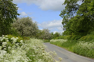 Flower-rich road verge with Cow Parsley (Anthriscus sylvestris) and flowering cider apple trees in background, Herefordshire, UK, June. - Will Watson