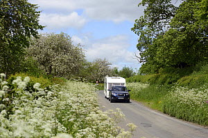 Car towing caravan down road with verge of flowering Cow Parsley (Anthriscus sylvestris) and flowering cider apple trees in background, Herefordshire, UK, June.  -  Will Watson
