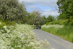 Tractor on road with verge of flowering Cow Parsley (Anthriscus sylvestris) and flowering cider apple trees in background, Herefordshire, UK, June. - Will Watson