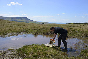 Man pond dipping, emptying net in to tray, on Cefn Common, Hay Bluff in background, Herefordshire, England, UK, May 2013.  -  Will Watson