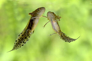 Two Great Crested Newt (Triturus cristatus) tadpoles, mid development, captive, Herefordshire, England, August.  -  Will Watson