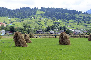 Family making hay, with hay propped up to dry, in the foothills of the Carpathian Mountains,Yasinya,Transcarpathia, Ukraine, July 2013. - Will Watson