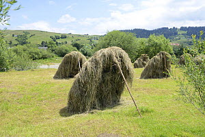 Hay propped up to dry, in the foothills of the Carpathian Mountains,Yasinya,Transcarpathia, Ukraine, July 2013. - Will Watson