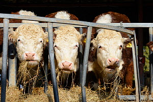 Three Hereford bullocks feeding on hay, Herefordshire Plateau, England, April. - Will Watson