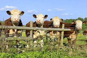 Four Hereford bullocks looking over a fence with Cow Parsley (Anthriscus sylvestris) Worcestershire, England, May. - Will Watson