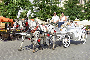 Malopolski horses (Little Poland Horses) pulling carriage, Market Square, Krakow, Poland, July 2013  -  Will Watson