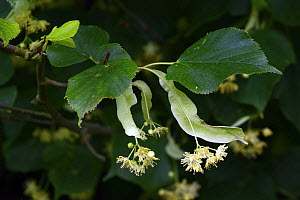 Small-leaved Lime (Tilia cordata) flowers and leaves, Herefordshire, England, July. - Will Watson