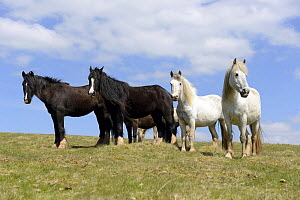 Two Black Gypsy Cobs and two Welsh Ponies (Equus caballus), Cefn Hill, Herefordshire, England, May.  -  Will Watson