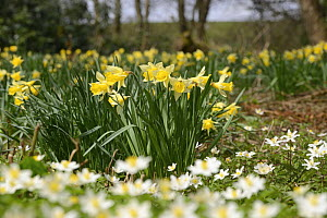 Wild Daffodils (Narcissus pseudonarcissus) and Wood Anemones (Anemone nemorosa), ancient woodland, Herefordshire, England, UK, April.  -  Will Watson