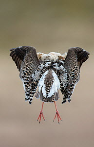 Rear view of Ruff (Philomachus pugnax) in full display at the lek.  Varanger, Finmark, Norway, May. - Roger Powell