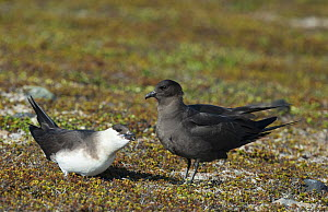 Male dark phase Arctic Skua (Stercorarius parasiticus) courtship feeding light phase female. Varanger, Finmark, Norway, May.  -  Roger Powell