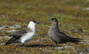 Pair of Arctic Skuas (Stercorarius parasiticus) dark phase male and light phase female. Varanger, Finmark, Norway  -  Roger Powell