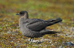 Dark phase male Arctic Skua (Sterocorarius parasiticus) shuffling feathers after preening. Varanger, Finmark, Norway, May.  -  Roger Powell
