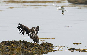 Juvenile White-tailed Eagle (Haliaeetus albicilla) being dive-bombed by a Common Gull (Larus canus) Varanger shore, Finmark, Norway, June.  -  Roger Powell