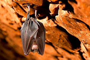 Lesser Horseshoe Bat (Rinolophus hipposideros) hibernating in Forat de l'Or cave in Terradets Canyon, Pyrenees, Lleida, Catalonia, Spain, December  -  Inaki  Relanzon
