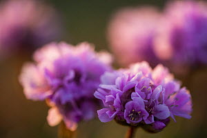 Thrift (Armeria maritima) flowering at 'Uthorn' Nature Reserve, List, Island of Sylt, Wadden Sea National Park, UNESCO World Heritage Site,  Germany.  -  Florian Möllers