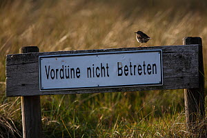 Meadow pipt (Anthus pratensis) perched on wooden sign post  saying Do not enter of the Wadden Sea National Park. Island of Sylt, Wadden Sea National Park, UNESCO World Heritage Site,  Germany, June.  -  Florian Möllers
