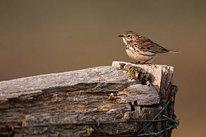 Meadow pipt (Anthus pratensis) perched on wooden sign post of the Wadden Sea National Park. Island of Sylt, Wadden Sea National Park, UNESCO World Heritage Site,  Germany.  -  Florian Möllers