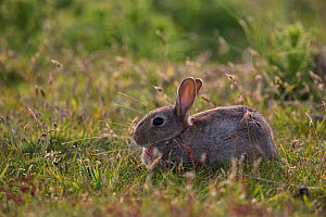 Rabbit (Oryctolagus cuniculus) in the dunes at 'Lister Haken' on the Island of Sylt, Wadden Sea National Park, UNESCO World Heritage Site, Germany, June.  -  Florian Möllers