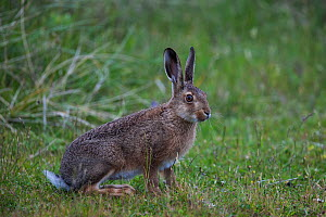 Common European hare (Lepus europaeus) on the sand dunes of the Island of Sylt, Wadden Sea National Park, UNESCO World Heritage Site, Germany, June.  -  Florian Möllers