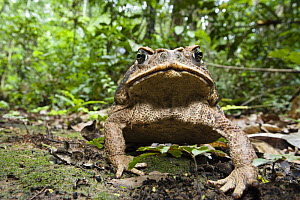 Marine Toad (Rhinella marinus) in rainforest at Tambopata river, Tambopata National Reserve, Peru, South America.  -  Konrad  Wothe