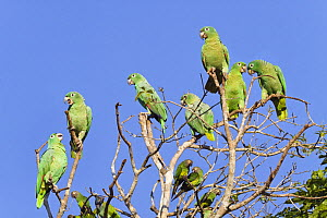 Mealy Amazons (Amazona farinosa farinosa) and Dusky-headed Parakeets (Aratinga weddellii) Tambopata National Reserve, Peru, South America.  -  Konrad  Wothe
