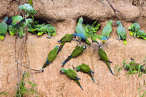 Mealy Amazons (Amazona farinosa farinosa) and Chestnut-fronted Macaws (Ara severa) at clay lick, Tambopata National Reserve, Peru, South America.  -  Konrad  Wothe