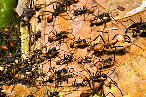Army Ants (Eciton burchelli) workers carrying pupae during migration phase with large soldier ant, in rainforest at Tambopata river, Tambopata National Reserve, Peru, South America.  -  Konrad  Wothe