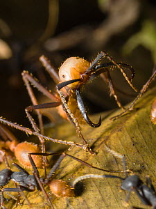Army Ant (Eciton burchelli) soldier, in rainforest at Tambopata river, Tambopata National Reserve, Peru, South America.  -  Konrad  Wothe