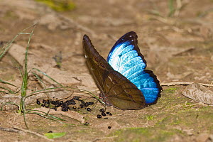 Menelaus Blue Morpho (Morpho menelaus) puddling at dead insect bodies, butterfly in rainforest, Tambopata Reserve, Peru, South America.  -  Konrad  Wothe