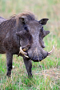 Warthog (Phaecochoerus aethiopicus)  with juvenile Yellow billed oxpecker (Buphagus africanus) feeding on flies, Masai Mara National Reserve, Kenya, Africa.  -  Eric Baccega