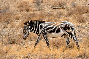 Grevy's zebra walking (Equus grevyi), Samburu National Reserve, Kenya, Africa. Endangered species. - Eric Baccega