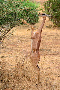 Gerenuk (Litocranius walleri) standing on hind legs browsing on acacia trees, Samburu National Reserve, Kenya, Africa.  -  Eric Baccega