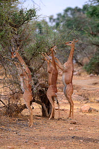 Gerenuk (Litocranius walleri) group with male and females standing on hind legs browsing on acacia trees, Samburu National Reserve, Kenya, Africa.  -  Eric Baccega