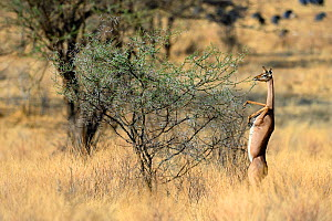 Female Gerenuk (Litocranius walleri) standing on hind legs browsing on acacia trees  Samburu National Reserve, Kenya, Africa.  -  Eric Baccega