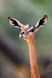 Female Gerenuk (Litocranius walleri) head portrait, Samburu National Reserve, Kenya, Africa.  -  Eric Baccega