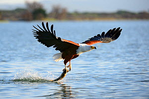 African fish eagle (Haliaeetus vocifer) fishing, Baringo lake, Kenya, Africa.  -  Eric Baccega