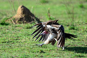 Lappet faced vulture (Torgos tracheliotus) in threat posture, Masai Mara National Reserve, Kenya, Africa.  -  Eric Baccega