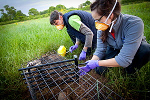 Licenced Wildlife Trust vaccinator injecting Badger (Meles meles) in south Cheshire with bovine TB vaccine, assistant restrains badger with 'wicket' in live capture cage. Cheshire, England, UK, May 20...  -  Tom  Marshall