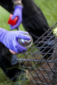 Badger (Meles meles) bovine TB vaccination in south Cheshire, Wildlife Trust staff marking with stock spray to identify treated badger. Hair is removed to make spray easier to apply as badgers preen c...  -  Tom  Marshall