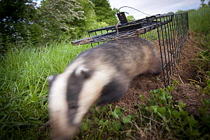 Badger (Meles meles)  released after being given bovine TB vaccine by Wildlife Trust, south Cheshire. May, 2013.  -  Tom  Marshall
