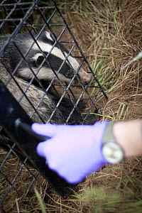 Badger (Meles meles) just before release after being given bovine TB vaccine by Wildlife Trust in south Cheshire. May, 2013.  -  Tom  Marshall