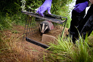 Badger (Meles meles) released after being given bovine TB vaccine by Wildlife Trust in south Cheshire. Rock is used to bury peanuts used for attracting badger to live traps. May, 2013.  -  Tom  Marshall