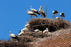 White storks (Ciconia ciconia) nesting on building roof Spain, June. - Roland  Seitre