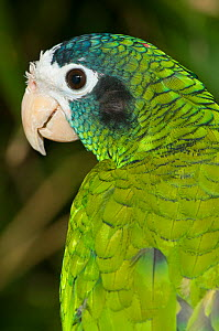 Hispaniolan amazon (Amazona ventralis) captive at breeding centre, from Hispaniola. Vulnerable species. - Roland  Seitre