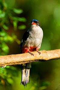 Cuban Trogon (Priotelus temnurus) captive. Jacobo Lacs breeding facilities, Colon, Cuba.  -  Roland  Seitre