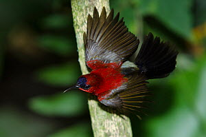Crimson Sunbird (Aethopyga siparaja) stretching wings, Singapore.  -  Roland  Seitre