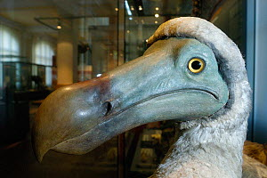 Dodo (Raphus cucullatus) reconstructed model at the Berlin Museum, Germany. - Roland  Seitre