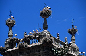 White stork (Ciconia ciconia) nests on tower, Spain. - Roland  Seitre