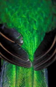 Resplendent quetzal (Pharomachrus mocinno) close up of wing and tail feathers, captive, from Meso-America.  -  Roland  Seitre